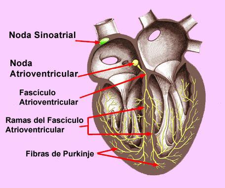 El blog neuroanatomico del Dr. Mime: TORAX: CORAZON: VASCULARIZACION ...